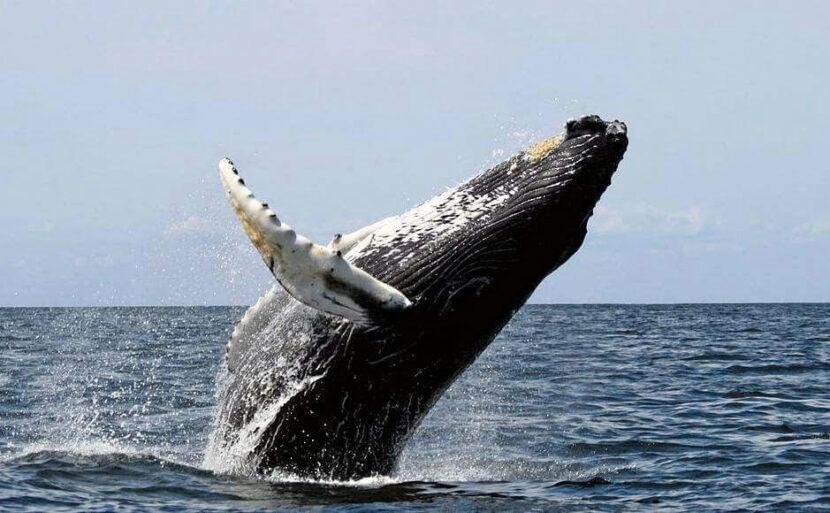 Las ballenas jorobadas dinamizan la economía en Samaná