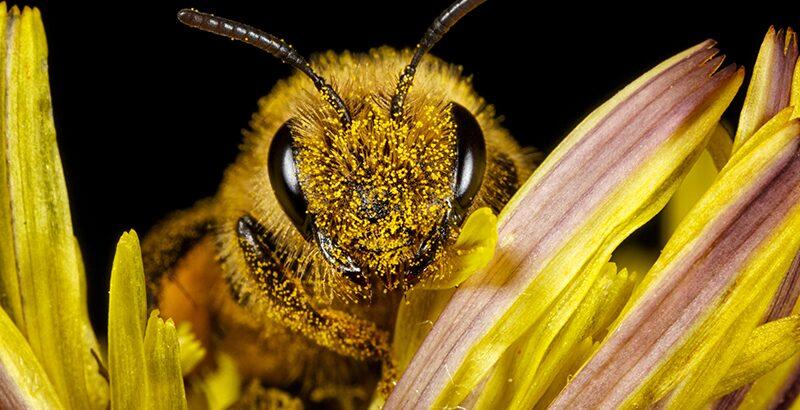 Llama atención de apicultores la muerte de abejas en Azua y Baní